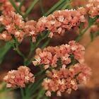 Statice Apricot Beauty Flower Seeds (Limonium Sinuatum) 50+Seeds