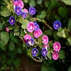 Morning Glory Mix Flower Seeds (Convolvulus Tricolor) 50+Seeds