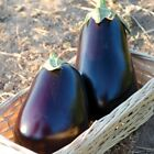 San Marino F1 Hybrid Eggplant Seeds - Very firm fruit that is black in color!