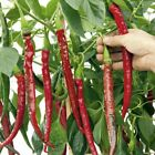 Joe's Long Cayenne Hot Pepper Seeds -  A variety from Calabria, Italy.
