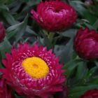 Strawflower Paper Daisy Purple-Red Flower Seeds(Helichrysum Bracteatum)200+Seeds