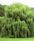 Grow Your Own Weeping Willow Trees & More.   10 Fresh Cuttings Over 70 Varieties