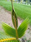 Coconut Palm Tree (Florida Pickup Only)  2' to 6'