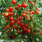 Sweet Pea Tomato Seeds - Tiny & Tasty!!! mmmm..Good!!!YUMMY!!!!  FREE SHIPPING!