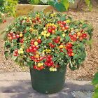 Italian Patio Cherry Tomato Seeds Vigorous production! Very Sweet! Free Ship!