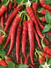 Cayenne Large Red Thick Pepper-Hot, thick fleshed fruits-brilliant scarlet red!!