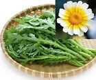 Garland Chrysanthemum Seed - Popular Oriental green - EDIBLE & BEAUTIFUL!