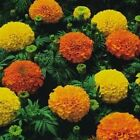 "African Marigold 'Crackerjack' - Huge puffball blooms!!! Majestic 5"" blooms !!!"