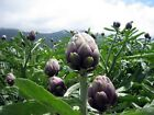 Violet Star Artichokes Seeds - Excellent choice for home gardens!  BEAUTIFUL !!
