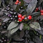 Organic Black Pearl Pepper Seeds - The first-ever black-leafed Pepper! BEAUTIFUL