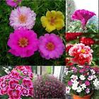 Garden Home Rare Flowers Plants Seeds Rose Daisy Hibiscus Ideal Potted Seeds MT
