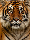 Modern Home Art Wall Decor Animal Tiger head pictures painting Printed On Canvas