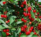 Grow Your Own Fruit Trees and Berries!  ! 10 Fresh Cuttings Over 70 Varieties