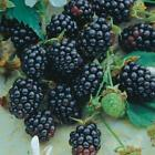 Grow Your Own Fruit Trees! 10 Fresh Cuttings Ready to Plant Over 70 Kinds