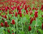 Crimson Clover Seeds - Reseeding Cover Crop Bee Forage NATURAL Seed (upto 1 LB)