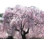 10 Weeping Cherry Cuttings! Grow your own and Save $$$ Free Shipping