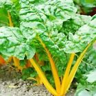 Orange Fantasia Swiss Chard Seeds - Helps regulate blood sugar!! Good For You!!