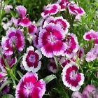 Dianthus Sweet William Mix Flower Seeds (Dianthus Barbatus) 200+Seeds
