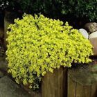 Sedum Golden Carpet Succulent Seeds (Sedum Acre) 100+Seeds