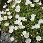 Ice Plant White Flower Seeds (Dorotheanthus Bellidiformis) 200+Seeds