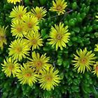 Ice Plant Yellow Flower Seeds (Dorotheanthus Bellidiformis) 200+Seeds