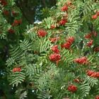 European Mountain Ash Tree Seeds (Sorbus aucuparia) 50+Seeds