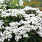 Ageratum White Flower Seeds (Ageratum Mexicanum White) 200+Seeds