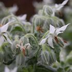 Borage Starflower White Flower Seeds (Borago Officinalis Bianca) 50+Seeds