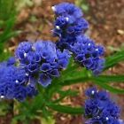 Statice Blue River Flower Seeds (Limonium Sinuatum) 50+Seeds