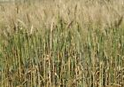 Organic Hard Red Spring Wheat Seed - Cereal Grain Crop Garden Seeds (3 - 5 LBS)