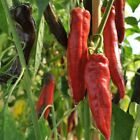 NuMex Sweet Pepper Seeds -  yields of sweet peppers.!!! MMMmmmmm..GOOD!!!!
