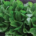 Imperial Green F1 Spinach Seeds - A top choice for using in fresh salads!!!!