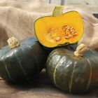 Burgess Buttercup Winter Squash Seeds - A most popular winter squash.!!!