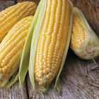 Honey Select Triplesweet Hybrid Corn Seeds - remarkable crunchy-sweet kernels !!