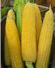 Merit Sweet (su) Corn Seed - Hybrid Silkless Maize Treated Seeds (½ oz to 1 LB)