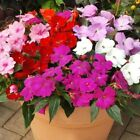 Impatiens Peppermint Mix Flower Seeds (Impatiens Walleriana) 10+Seeds