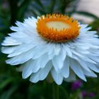 Strawflower Paper Daisy White Flower Seeds (Helichrysum Bracteatum) 200+Seeds