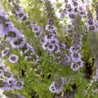 Creeping Pennyroyal Flower Seeds  (Mentha Pulegium) 200+Seeds
