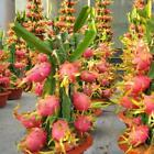 Exotic Bonsai Dragon Fruit Pitaya Seed Tropical Succulent Fruit Plant 20 Pcs/bag