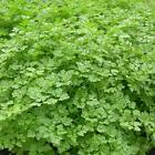 Herb Seed: Curled Chervil Seeds Fresh Seed  FREE Shipping
