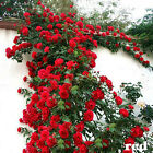 100PCS Climbing Rose Seeds Rosa Multiflora Perennial Fragrant Flower New  cheap