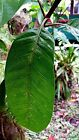 Varied Lot 50/100/200 FRESH Green Mango Mangifera Indica Leaves FROM HAWAII