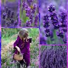 Lavender Seeds Outdoor Pot Bonsai Beautiful Vera Herb Flower Seeds Home B20E 01