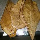 Catappa Indian Almond leaves Ketapang for shrimp, fighting fish, betta,Catfish