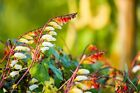 40/240 Seeds Feathers Indian Ipomoea Morning Glory Lofted Mina Lobata Flower -