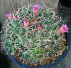 Mammillaria magnamamma Tightly Grouped Stems Pin Cushion Specimen Cactus