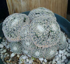 Mammillaria perbella Tightly Woven Spine Mini Owe Face Multi-head Cactus