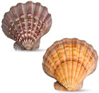 """2PCS Large Lions Paw Scallops 5-6"""" Seashell for Baking Smudging Crafts Beach Dec"""
