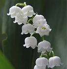 LILY OF THE VALLEY Fragrance Oil Scent for Soap Candle Cosmetics 10ml 30ml 100ml