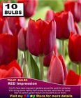DAFFODILS BULBS - Cup & Trumpet Mix Colours - 10x BULBS